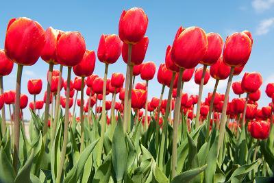 Red Flower Bulbs Tulips in Landscape