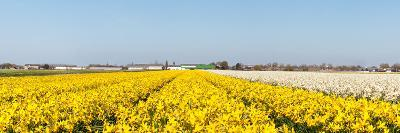 Field of Yellow Flowers. Panorama