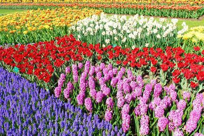 Colorful Flowerbeds with Tulips, Grape Hyacinths, Hyacinths and Daffodils in Spring Garden 'Keukenh