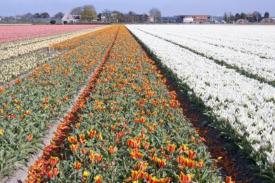 Dutch Bulb Fields with Tulips