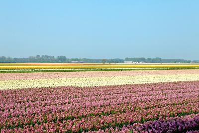 Dutch Bulb Field