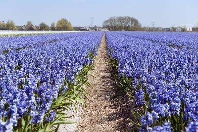 Dutch Landscape with Hyacinth Flowers