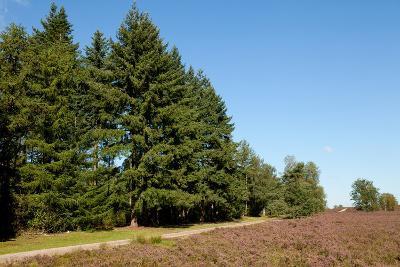Field with Dutch Heath