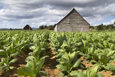 Tobacco Plantation on Cuba