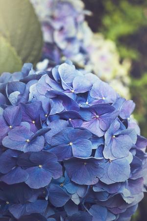 Blue Hydrangea in the Garden