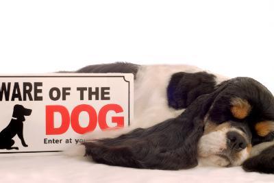 Cocker Spaniel Sleeping with Beware of Dog Sign