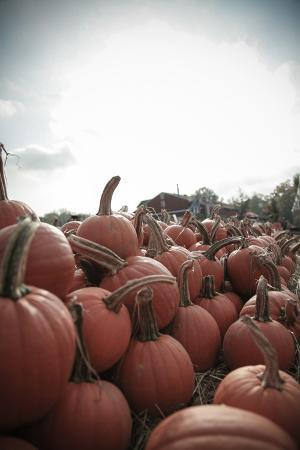 Instagram Filtered Style of Pumpkins Ready for Picking on a Farm