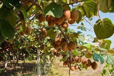 Ripe Kiwi Fruits
