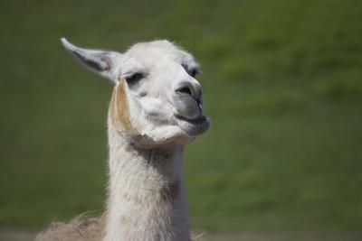 Chewing Llama