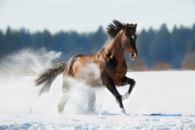 Horse Gallops in Winter
