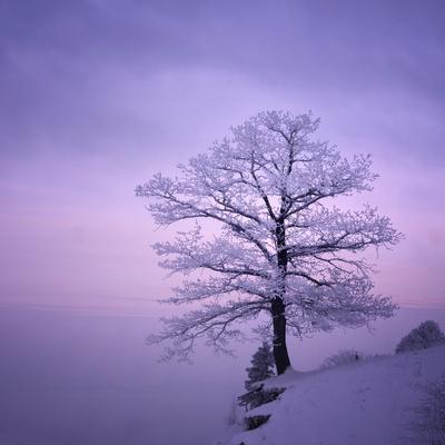 Snowy Tree in A Winter Twilight