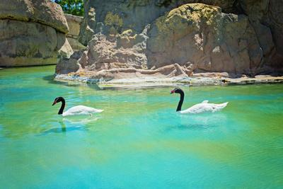 Two Black-Necked Swans