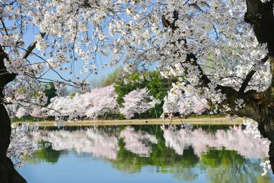Spring in Washington DC - Cherry Blossom Festival at Tidal Basin