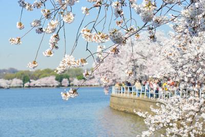 Washington DC - Cherry Blossom Festival at Tidal Basin in Spring