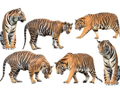 Bengal Tiger Isolated Collection