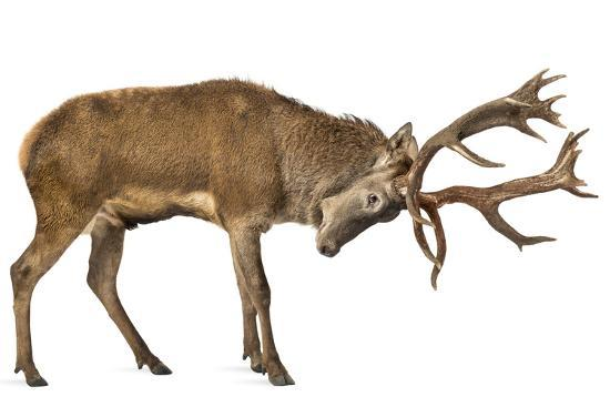 Red Deer Stag In Front Of A White Background Photographic
