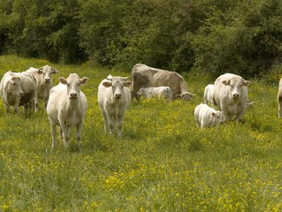 Cattle with Calves in Lush Flowery Pasture with Buttercups