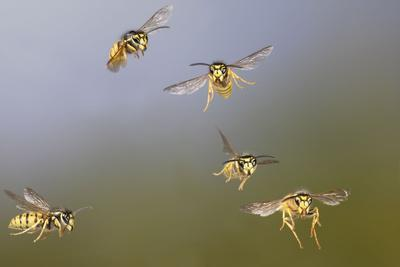 Common Wasp Group in Flight