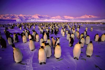 Emperor Penguin Colony in Twilight