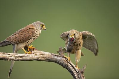 Common Kestrel Male Passing Food to Female
