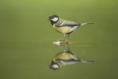 Great Tit Refection at Forest Pool