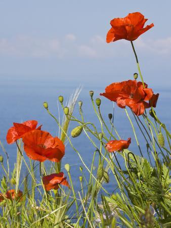 Wild Poppy or Field Poppy Against Sea and Sky