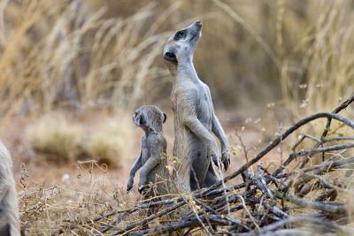 Meerkat Sentry Keeping Watch for Predators