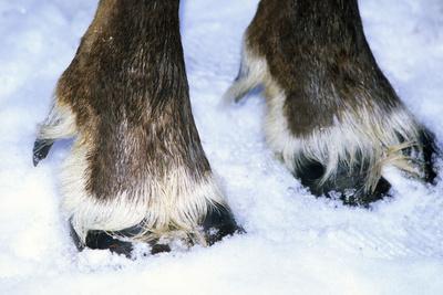 Hoofs of a Domestic Reindeer