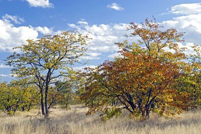 Colours of Mopane Veld, Due Mostly to the Mopane Tree