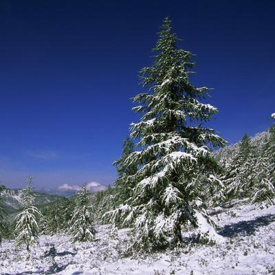 Fir Trees and Spruces after a Snowfall