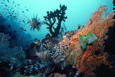 Lionfish Amongst Tubastrea Coral and Sea Fan