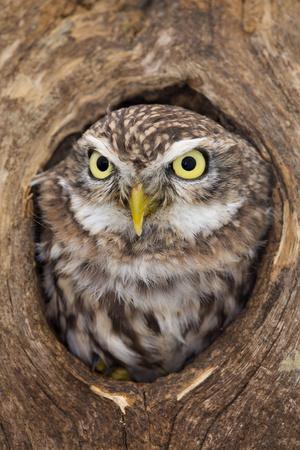 Little Owl in Hole in Tree