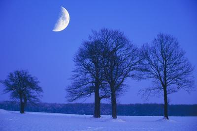 Oak Tree Standing on Field, Winter Evening with Moon