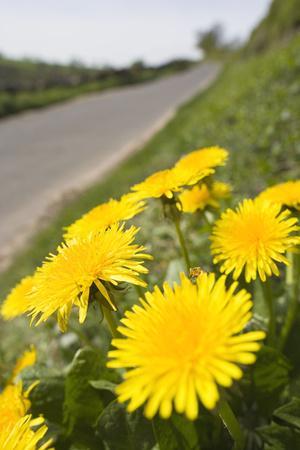 Dandelion Flowers on Roaside Verge