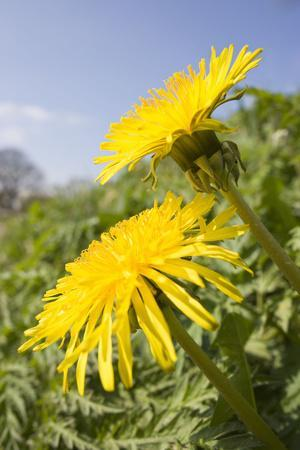 Dandelion Flowers on Roaside Verge