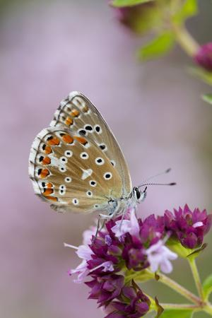 Adonis Blue Butterfly Female on Flower