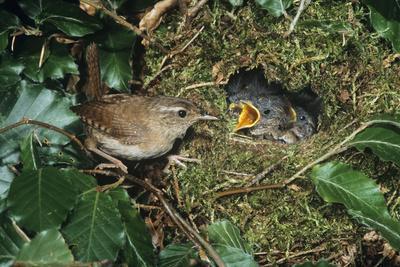Wren Adult Feeding Offspring at Nest
