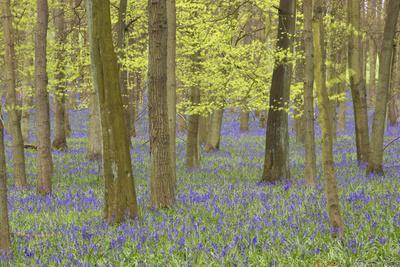 Bluebells in Beech Woodland