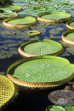 Amazon Waterlily and Santa Cruz