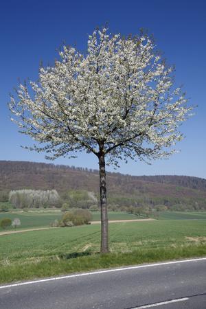 Common Cherry Tree Flowering on Roadside