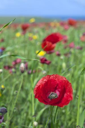 Common Poppy in Field