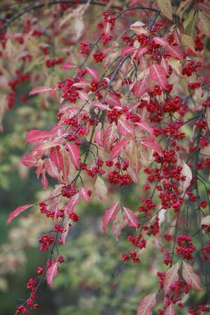 European Spindle Berries and Leaves