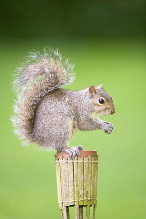 Grey Squirrel Sitting on Small Raised Flower Pot