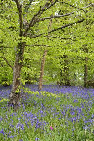 Bluebells Amongst Beech Trees in Spring