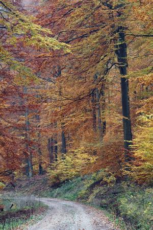 Beech Forest in Autumn Colour