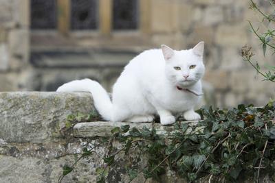White Cat Sitting on Churchyard Wall