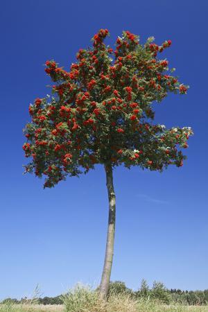 Rowan Tree with Ripened Berries