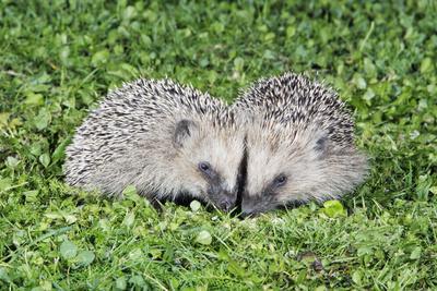 Hedgehog 2 Young Animals on Garden Lawn