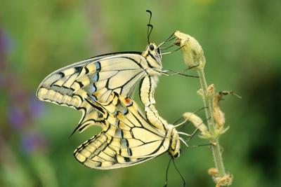 Swallowtail Butterflies Mating