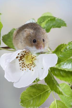 Harvest Mouse on Dog Rose